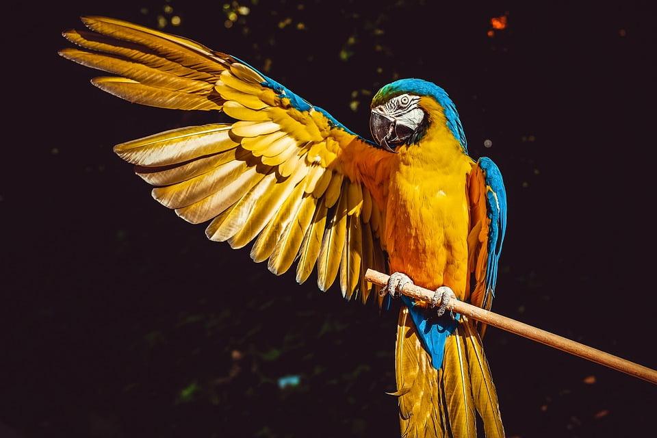 ara parrot yellow
